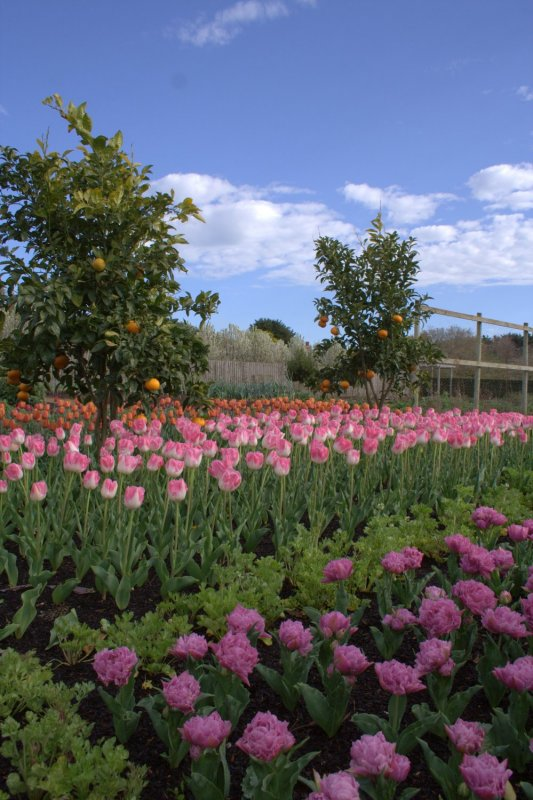 Easy care tulip species lambley nursery central victoria and temperate regions of inland australia have a much more suitable climate for growing these bulbs and unlike in holland where tulip mightylinksfo