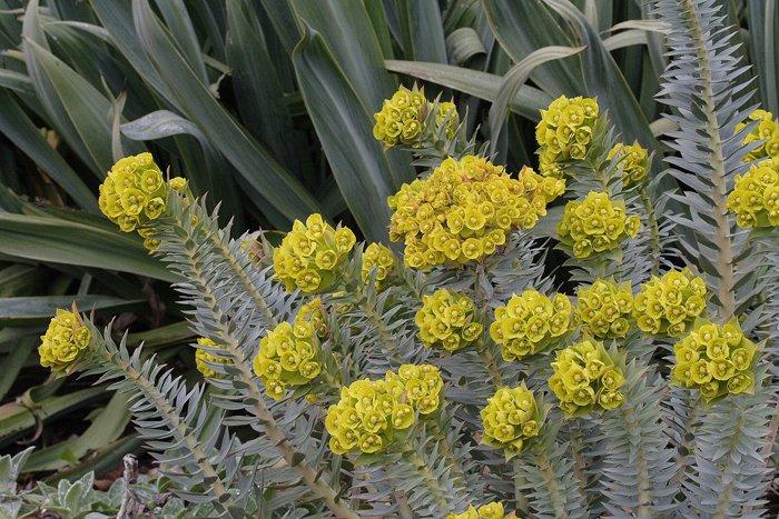 Notes On Euphorbias Lambley Nursery