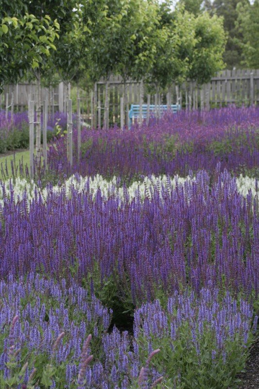 Frost Tolerant Salvias Lambley Nursery
