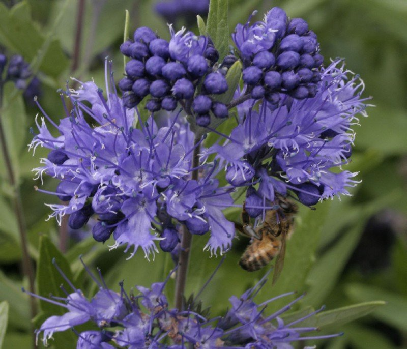 Awesome Caryopteris #1: Caryopteris_x_clandonensis_quotheavenly_bluequot.jpg?itok=f9hlaltV