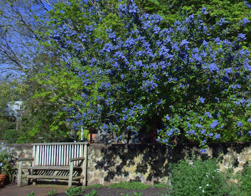 Ceanothus Arboreus Trewithen Blue likewise Dsquared2 Jeans For Women together with Timberland Womens Glastenbury Chukka Boots likewise Popimage in addition Australian Garden Plants. on drought tolerant gardens