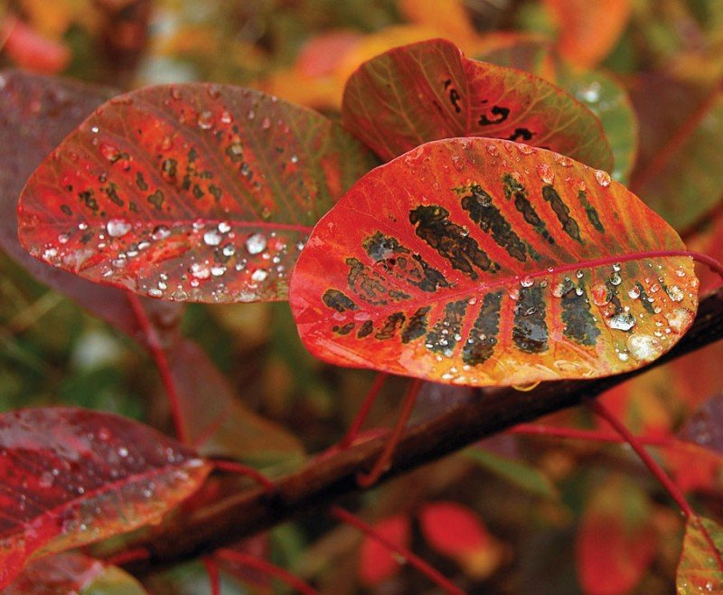 Cotinus coggygria 'Flame' | Lambley Nursery