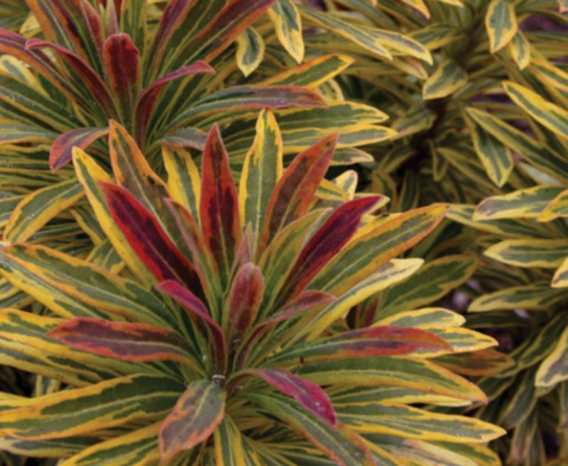 Euphorbia X Martinii Ascot Rainbow Lambley Nursery