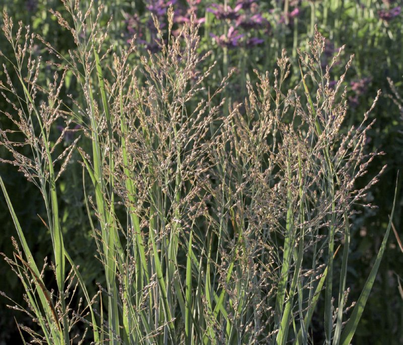 Panicum Virgatum Heavy Metal Lambley Nursery