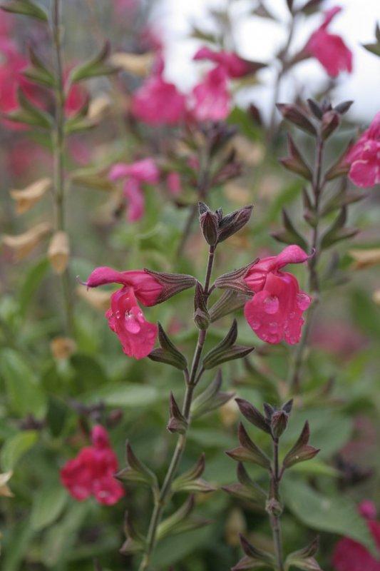 salvia microphylla salvia microphylla cerise velvet lambley nursery