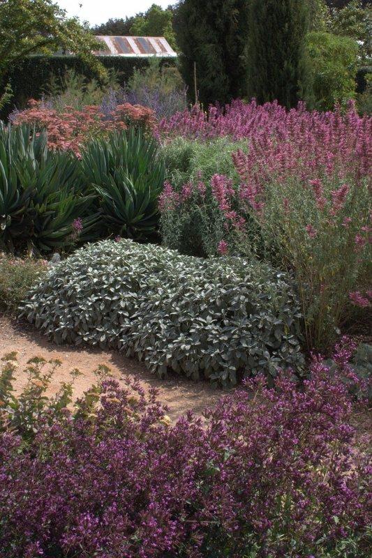 Salvia Officinalis Plant Salvia Officinalis '
