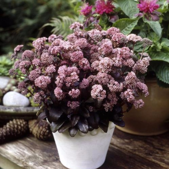 Sedum picolette lambley nursery sedum picolette altavistaventures Image collections