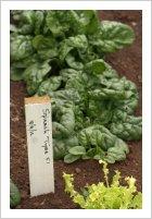 Spinach 'Tyee' F1