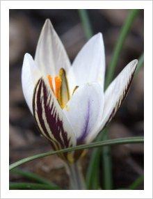 Crocus biflorus ssp. biflorus