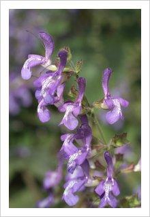Salvia forskaohlei