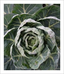 Brussels Sprouts IGOR F1 Crown