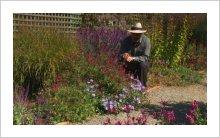 Salvia greggii 'Raspberry Royal'