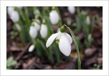 Galanthus 'Arnotts Seedling'