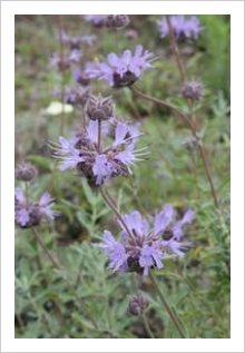 Salvia 'Bees Bliss'