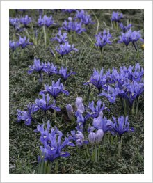 Drift of Iris reticulata 'Harmony'.