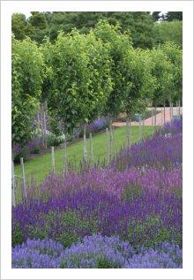 Salvia nemorosa garden.