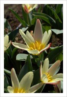 Tulipa gesneriana 'The First'