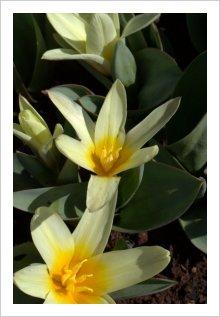 Tulipa kaufmaniana