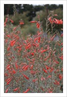 Zauschneria canum 'Catalina'