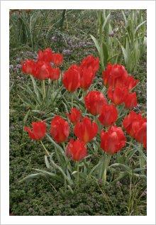 Tulipa vvedenskii