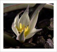 Tulipa sogdiana
