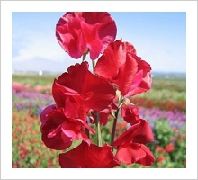 Sweetpea 'Winston Churchill'