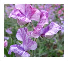Sweetpea 'The Major'