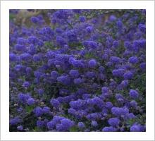 Ceanothus 'Blue Sapphire'