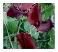 Sweetpea 'Black Knight'
