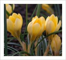 Crocus chrysanthus 'EA Bowles'