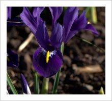 Iris reticulata 'Pixie'