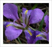Iris 'Mary Barnard'