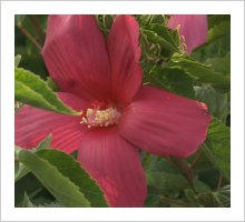 Hibiscus 'Raspberry Rose'
