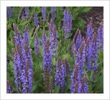 Salvia 'Blue Hills' ('Blauhugel)