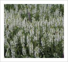 Salvia 'Snow Hills' (Schneehugel)