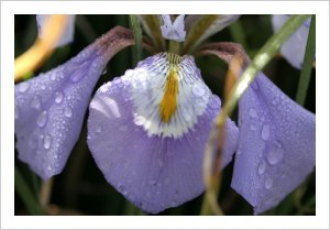 Iris unguicularis ssp cretensis
