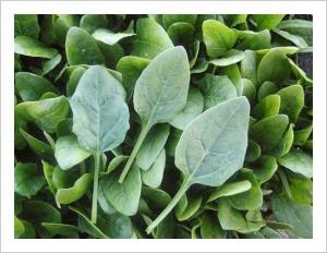 Spinach 'Black Glove'