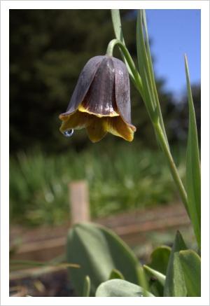 Fritillaria spetsiotica