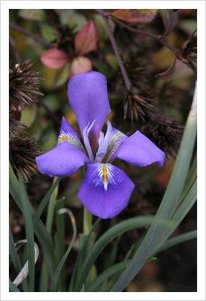 Iris cretensis 'Mia'
