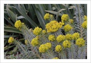 Euphorbia rigida Pelloponese Form