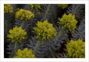 Euphorbia rigida Taurus Mountains Form