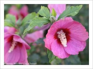 Hibiscus syriacus 'Elfin Rose' (Rose of Sharon)