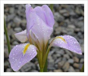 Iris cretensis 'Starker's Pink'