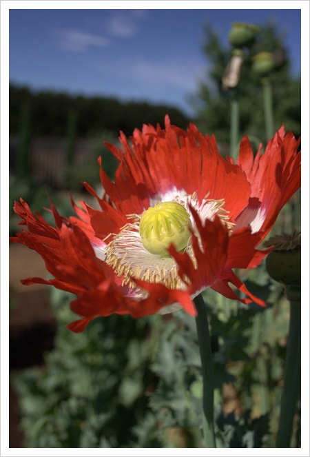 Time to plant poppies lambley nursery im often asked by visitors to the garden why their poppy seed hasnt germinated the most common mistake is that people bury the seed rather than sow it mightylinksfo