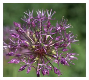 Allium jesdianum 'Akbulak'