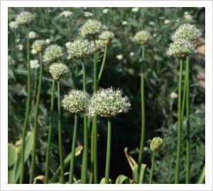 Allium 'Mt Everest'