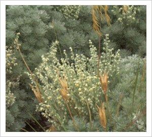 Artemisia pedemontana
