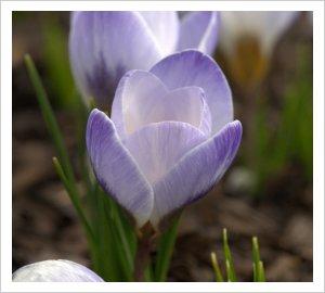 Crocus chrysanthus 'Blue Pearl'