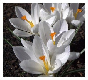 Crocus vernus 'Joan of Arc'