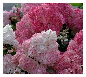 Hydrangea paniculata \'Sundae Fraise\' | Lambley Nursery
